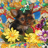 PUPPY NUMBER ( # T-YRK-25-CL-20006 )<br /> Breed: Yorkie