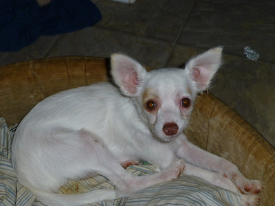 Lucy.  A hairy female at 3 months old.  Purebred but no papers.  $150