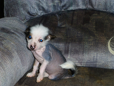 Hairless female.  2 months old.  AKC registered.  $350