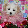 ( Puppy Number # CEL MP AMICA ) Female Malti Poo : SCROLL DOWN & CLICK OPEN PHOTOS 