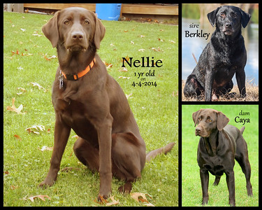 "NELLIE!!! Nellie was ""mother pup"" of the litter.  She was the one to keep things in order.  She was the biggest female and I loved looking at her because she already had her look to her. She just seemed more grown up and always beautiful. She looks like her mama for sure.  Nellie will be a duck hunter and after her training,when she's ready, she is going to  do great in the water! I hope to go out and see her this summer if time permits.  I'd love to photograph her since I haven't since she left here."