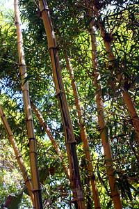 7/7/09 Painted Bamboo (Bambusa vulgaris 'vittata') -  Asian Tropics. Bamboo Garden. Quail Botanical Gardens, Encinitas, San Diego County, CA
