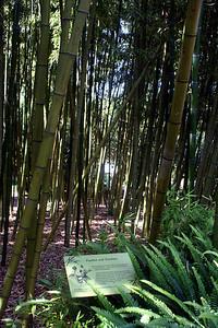 7/7/09 Vivax Bamboo (Phyllostachys vivax) - China. Bamboo Garden. Quail Botanical Gardens, Encinitas, San Diego County, CA