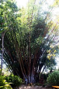 7/7/09 Bamboo Garden. Quail Botanical Gardens, Encinitas, San Diego County, CA