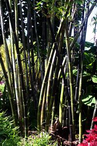 7/7/09 Tropical Black Bamboo (Gigantochloa atroviolacea) - Java & Sumatra. Bamboo Garden, Quail Botanical Gardens, Encinitas, San Diego County, CA
