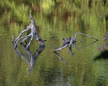 Wye Mill Pond Sanctuary