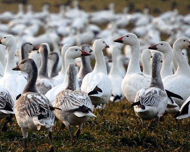 Snowgoose Convention