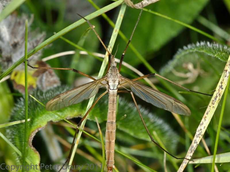 01 October 2011 Cranefly for ID at Portchester Common.