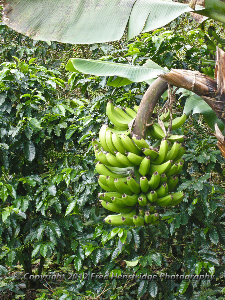 Bananas on the tree