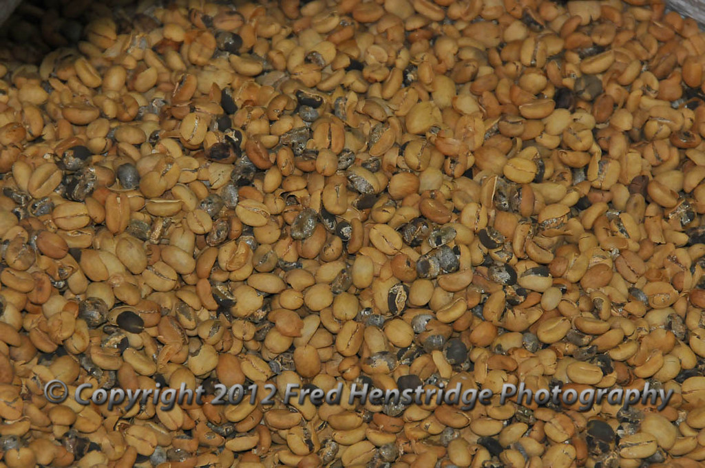 Dried coffee beans, not roasted