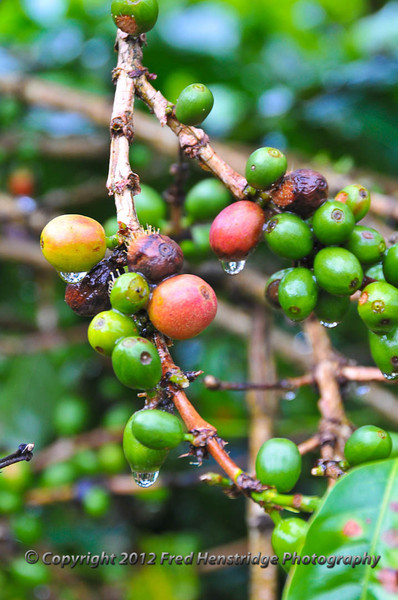 Green and red (ripe) coffee beans