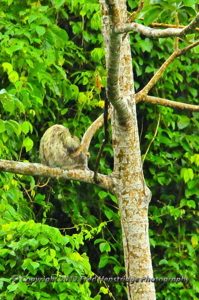 A tree sloth