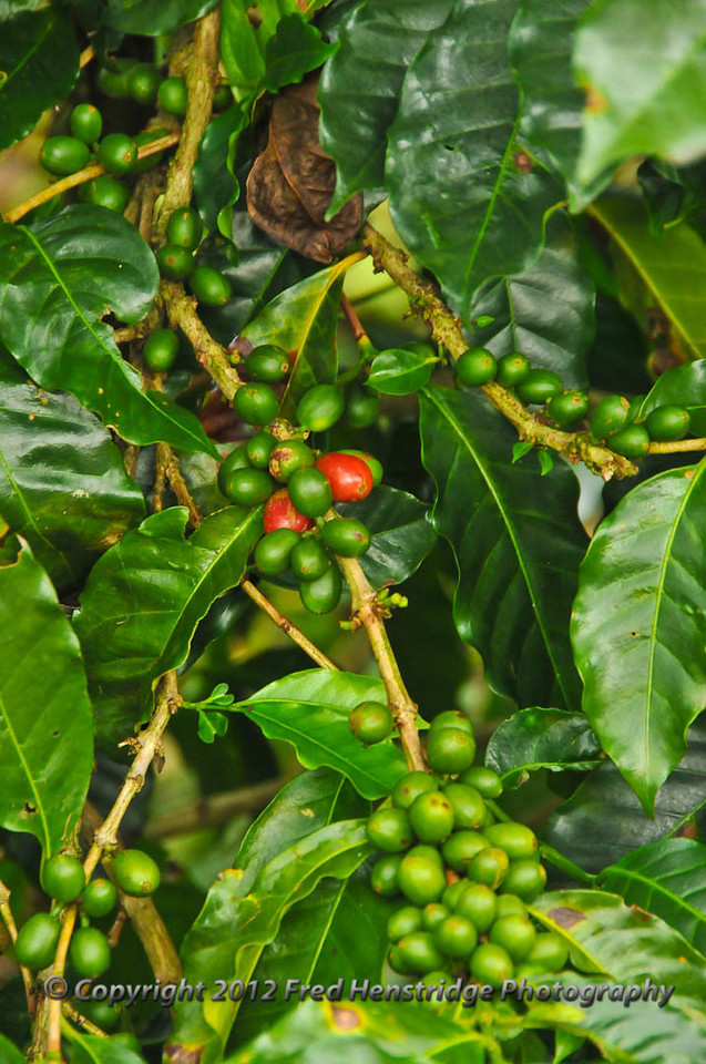 Ripe and ripening coffee beans on the same tree