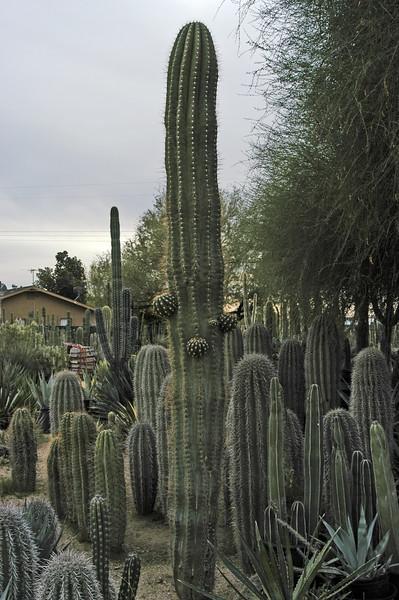 """Trichocereus terscheckii (""""Golden Saguaro"""")"""