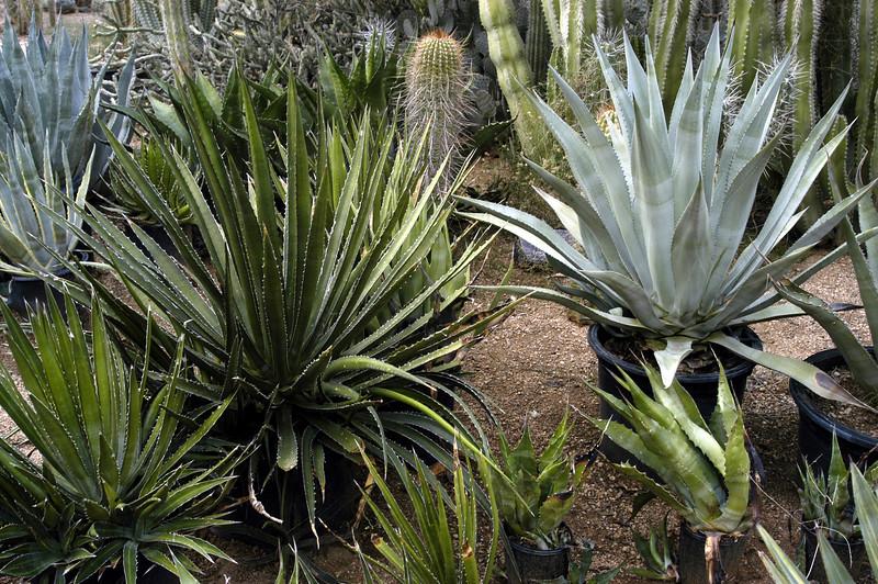 (L.) Agave utahensis, (R.) Agave palmeri.
