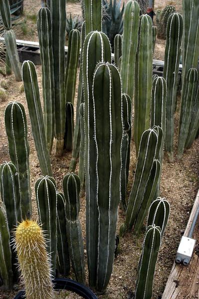 "Pachycereus marginatus (""Mexican Fencepost"")"