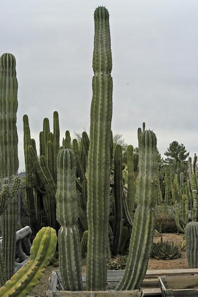 "Pachycereus weberi (""Candelabra Cactus"")"