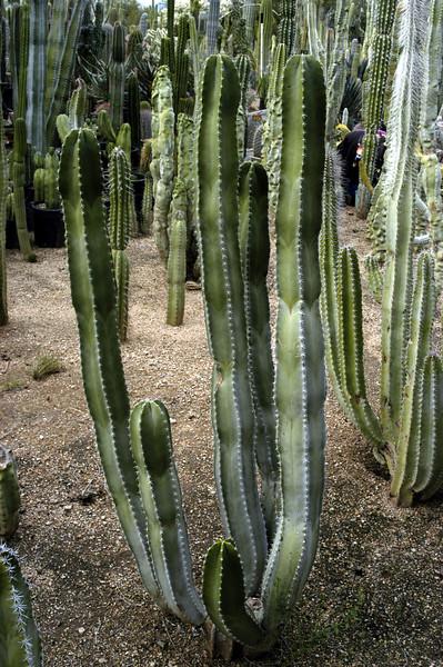 "Lophocereus schottii (""Senita"")"