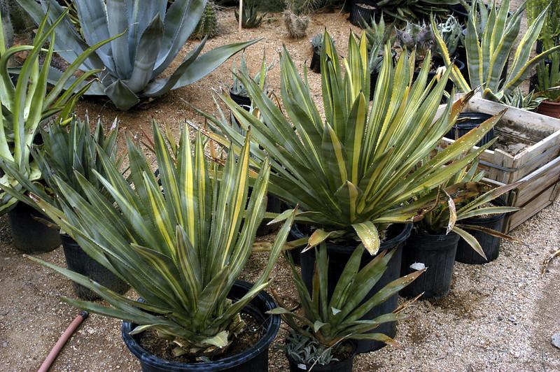 Agave murphyi, variegated