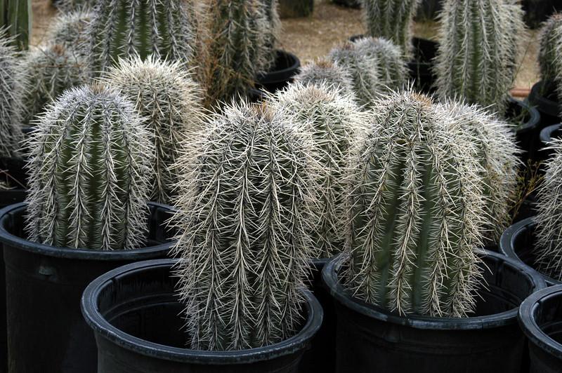 """Carnegia gigantea (""""Saguaro"""")"""