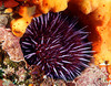Purple Sea Urchin in its nest.