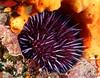 Purple Sea Urchin in its nest.