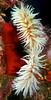 Fish-eating Anemones.