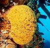 Southern Staghorn Bryozoan