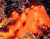 Red Volcano Sponge
