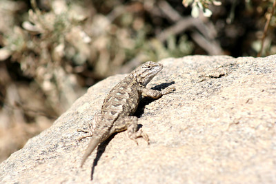 7/7/07 Western Fence Lizard (Sceloporus occidentalis). West Walker Trail (from Leavitt Trail). Off Hwy 108 (Sonora Pass), Mono County, Toiyabe National Forest, CA