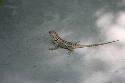 9/4/08  Baby Desert Spiny Lizard? (Sceloporus magister). Butterfly Garden, Living Desert Zoo & Gardens, Palm Desert, Riverside County, CA.