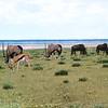 Oryx-en en gnoes