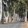 Mooie Eucalyptos bomen langs de laan waar Easy Five was.