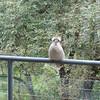 Een kookaburra op ons balkon.