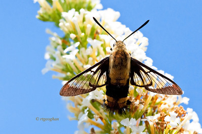 July 18_Clear-winged Sphinx Moth_4737