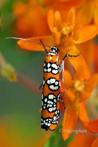 August 7_Ailantus Webworm Moth -Atteva aurea_6637