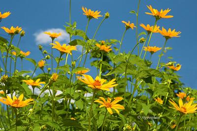 June 19_Woodland Sunflowers_2410
