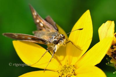 July 21_Butterlfy-Broad-winged Skipper_5116
