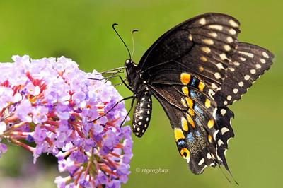 July 9_Butterfly Black Swallowtail_3876