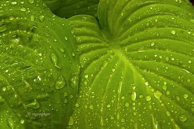 May 9_Raindrops on Hosta Leaves_9468