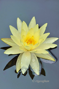 August 13_Yellow Water Lily in the Rain_7025