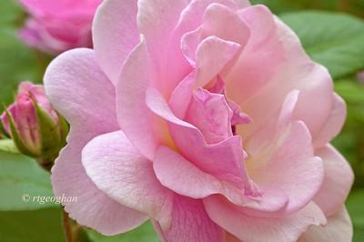 May 31_Pink Rose_1117