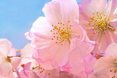 April 16_BranchBrookCherryBlossoms_8191