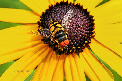 July 8_Syrphid Flower Fly -Lazy Susan_3794