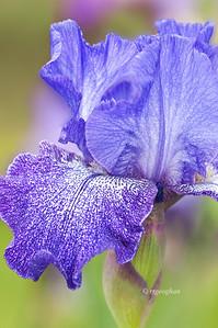 May 18_PresbyIris-PurplePepper_8438