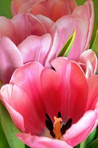 April 8_PinkTulipTrio_746789