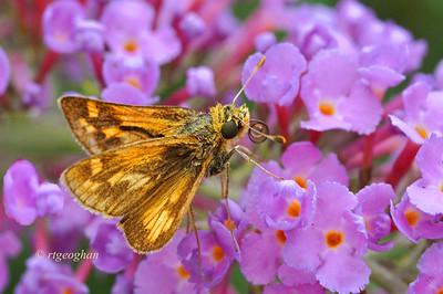August 11_Butterfly-Peck's Skipper_6923