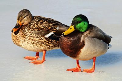 Feb 10_Ducks Mallard Pair Ice_5598