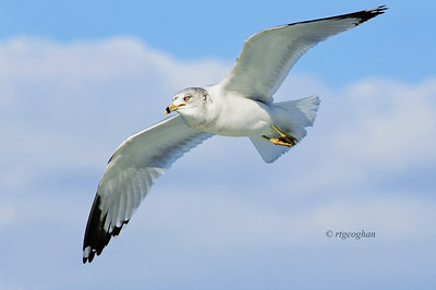 Feb 12_Ringbilled Gull Flight_5721