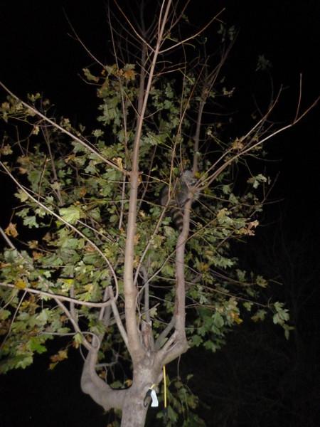 2012-11-02 - Raccoon in the tree outside the kitchen window.